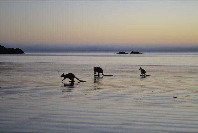 Canguri sulla spiaggia